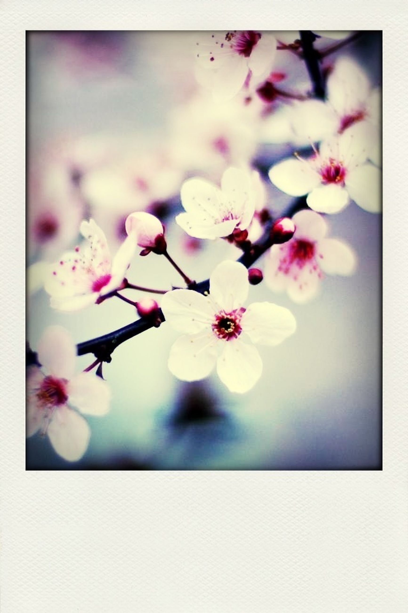 flower, freshness, fragility, transfer print, petal, beauty in nature, growth, auto post production filter, flower head, nature, close-up, blossom, blooming, in bloom, focus on foreground, selective focus, branch, pink color, cherry blossom, springtime
