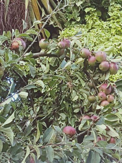 apples Leaf