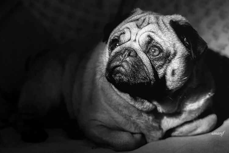 Mathilda Close-up Indoors  Animal Themes No People Canon 5d Mark Lll Canon5Dmk3 Canon_official Canon_photos Canonphotography Black And White Blackandwhite Pugsofinstagram Dog Photography Dog Of The Day Pug Life  Doglover Pug Life ❤ Carlino Pug Carlino Cane Dog Puglover