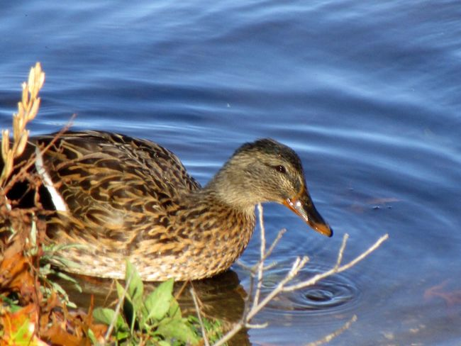 Animal Wildlife One Animal Close-up Duck In The Lake Swimming Outdoors Nature No People