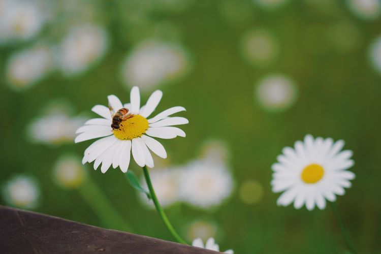 Processed with VSCO with au5 preset Flower Flowering Plant Fragility Vulnerability  Plant Freshness Beauty In Nature Growth Petal Flower Head Close-up Inflorescence Pollen Focus On Foreground Nature White Color Day Daisy Invertebrate Insect No People Outdoors Pollination