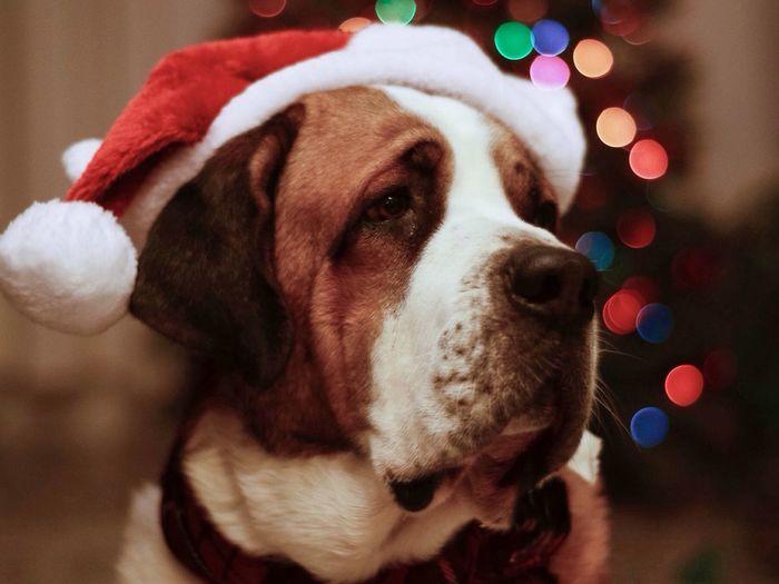 Christmas Cooper Dog Saintbernard Bokeh Christmastime