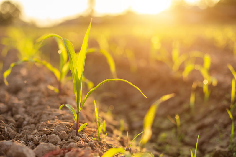 Close-up of crops on field during sunset