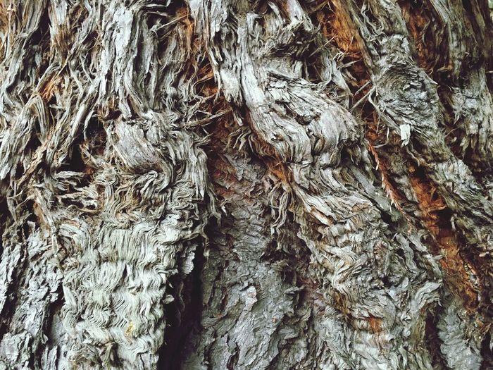 Beautiful Bark Bark Taxodium Distichum