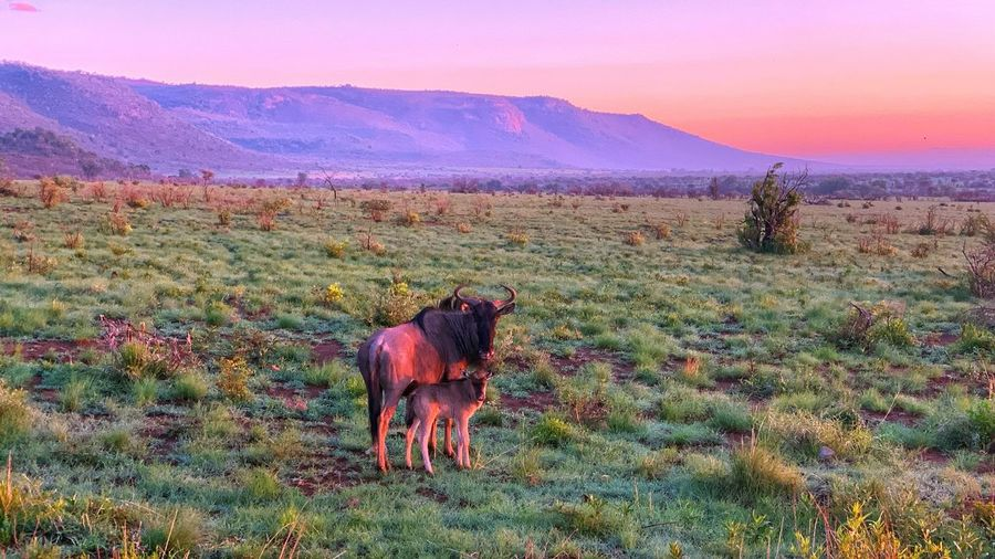 Wildebeest with baby Mammal Domestic Animals Animal Animal Themes Landscape Plant Environment Nature Beauty In Nature Mountain Scenics - Nature No People Sky Land