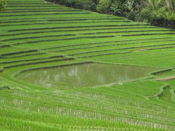 Nature Green Color Reisfelder Rice Field Bali, Indonesia Bali Beauty In Nature