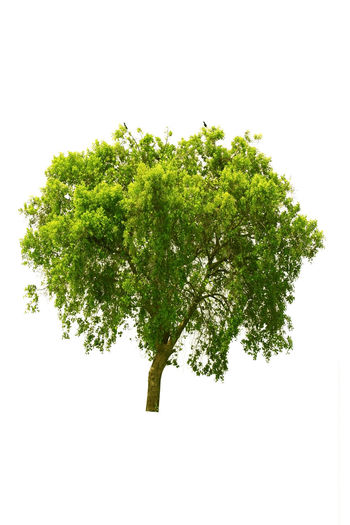 Tree with white background. Tree White Background Studio Shot Plant No People Positive Emotion Growth Nature Green Color Green Clear Sky Direction Indoors  Opportunity Cut Out Copy Space Beauty In Nature Herb Individuality Leaves Isolated