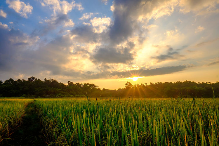 Rice Field with
