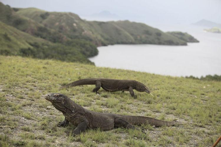 Komodo dragons on grassy field