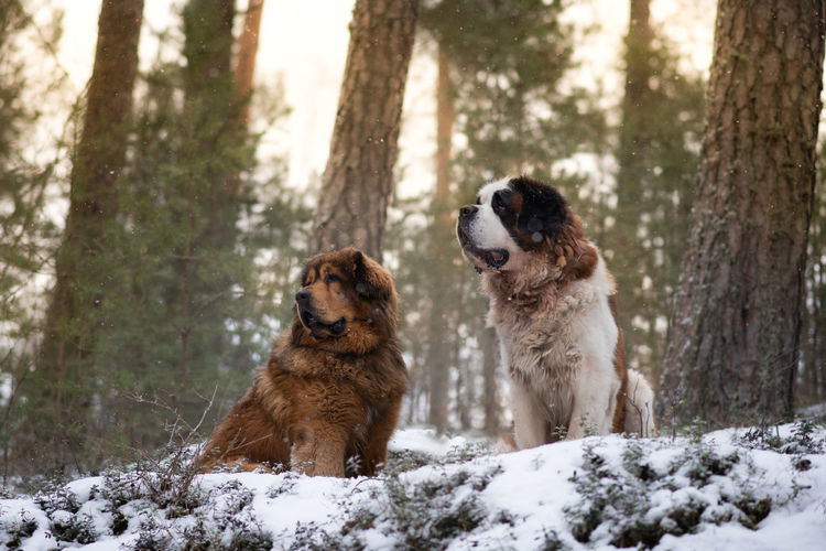 Two dogs posing in winter forest, tibetan mastiff and saint bernard