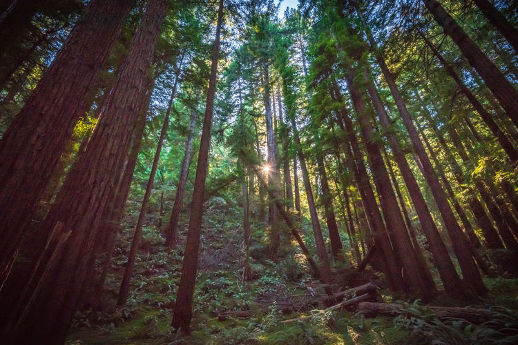 Tree Forest Plant Land Tranquility Beauty In Nature WoodLand Growth Scenics - Nature Nature Tree Trunk Trunk No People Tranquil Scene Low Angle View Day Sunlight Non-urban Scene Outdoors Environment Bamboo - Plant Rainforest Redwoods