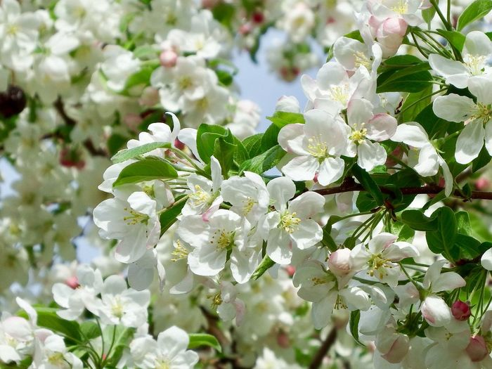 Tree Blossoms Close Up White Flowers And Buds White Blossoms Flower Plant Flowering Plant Growth Beauty In Nature Fragility Vulnerability  White Color Freshness Petal Close-up Flower Head Plant Part Inflorescence Springtime Nature Day Leaf No People