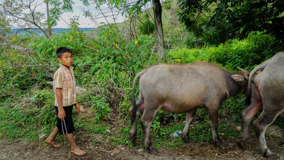 A boy and his buffaloes near the famous Lake Toba, Indonesia Asia Mountains Beauty In Nature Berastagi Berastagi Medan Grassy Hill Berastagi Grassy Hill Samosir Island Grassy Hillx Grassy Mountainx Green Landscape Green Landscapex Hilly M Indonesia Mountain Lake Toba From Above Lake Toba From Top Lake Toba Indonesia Medan Hilly A Medan Indonesia Medan Indonesia Lake Toba Landscape Buffaloes Outdoors Pantone Landscape Pentone Landscape Samosir Island  Samosir Medan Cowboy