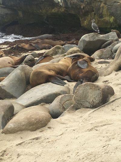Seal Beach Animals In The Wild Animal Wildlife Beach No People Outdoors Nature Aquatic Mammal Sea Lion California La Jolla Cove