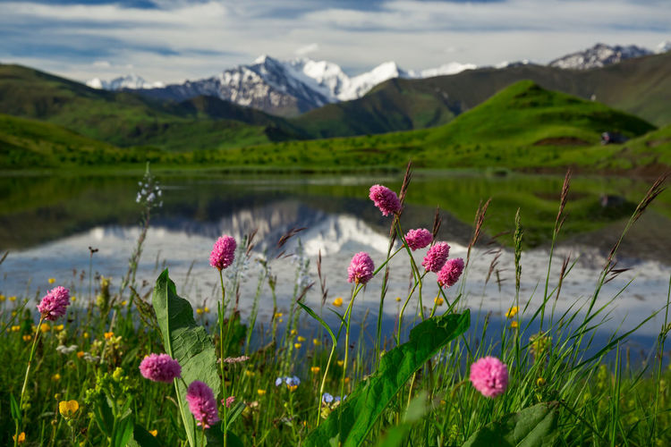 Pink flowering plants on field by mountains against sky
