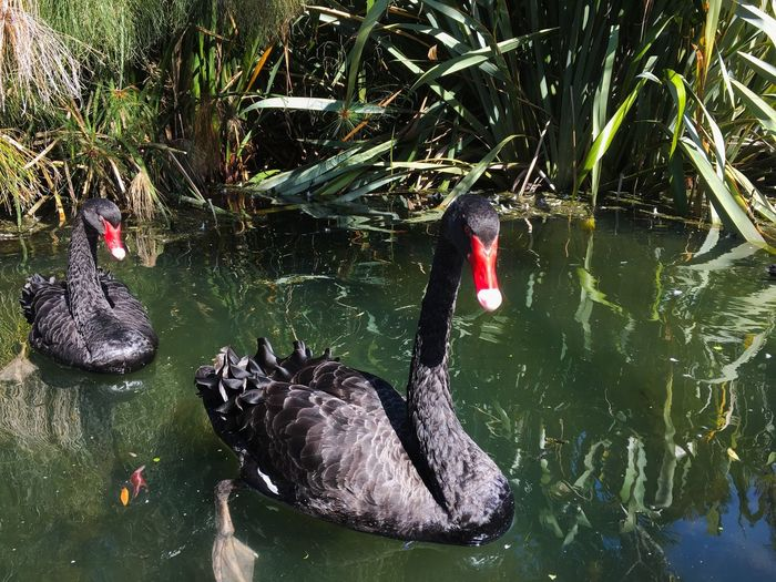 Black Swan Water Animal Themes Animals In The Wild Animal Animal Wildlife Lake Swimming Vertebrate Group Of Animals Day No People Nature Waterfront Reflection Carp High Angle View Bird Outdoors