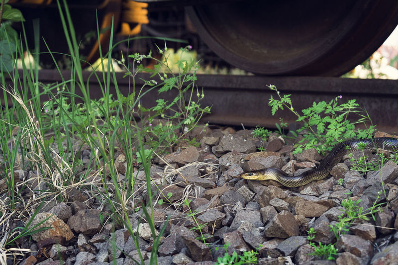 Small snake crawling on stones beneath old abandoned rusty railroad car Grass Looking At Camera Natural Light Plants Railroad Track Rocky Venomous Snake Animal Wildlife Close-up Leaf Natural Predator Nature No People Outdoors Plant Railroad Tracks Rusty Railcar Snake Photography Stones Transportation Vehicle Wild Snake