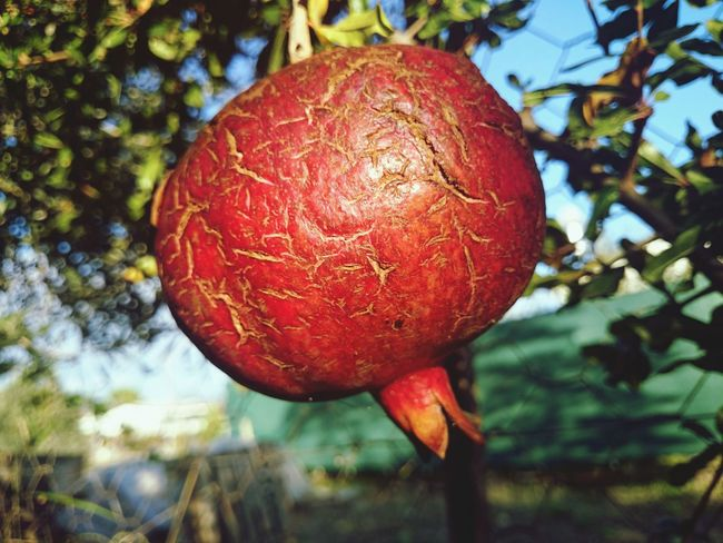 Food Fruit Pomegranate Nature