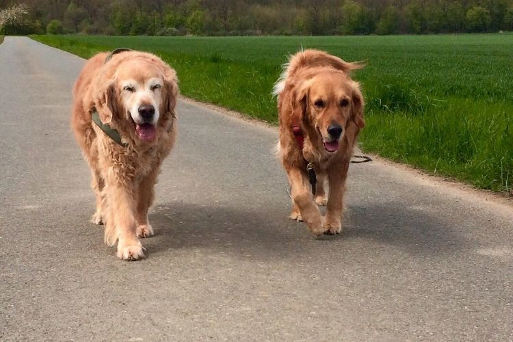 Weekend dogs - Bruno & Greta I Love My Dog Dog Dogslife DogLove Golden Retriever Pets Outdoors Dog Lover My Dogs Dog Love My Dog Doglover Dogs Dog❤ Dogs Of EyeEm Dog Walking Golden Retriever Goldenretriever