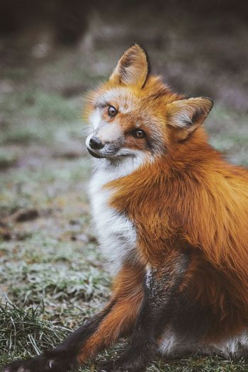 What does the fox say? Foxes Fuchs Cute Animals Wildlife Park Wildlife Fox Animal Themes Animal One Animal Mammal Animal Wildlife Vertebrate Animals In The Wild No People Outdoors