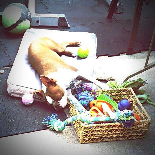 Mojo!❤️ I Love My Dog❤ I Love My Boston Terrier Boston Terrier I Love My Dog Napping Enjoying Life