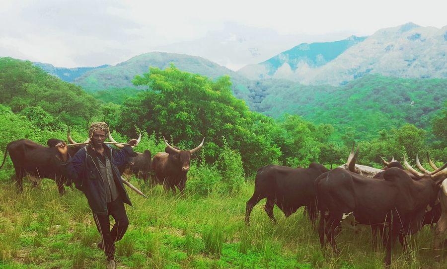 Rural Scene Nature Mountain Range Animals In The Wild Landscape Cow Tranquil Scene Fulani Cultural Heritage Nomadic Lifestyle Mambilla Plateau Northern Nigeria Nigeria