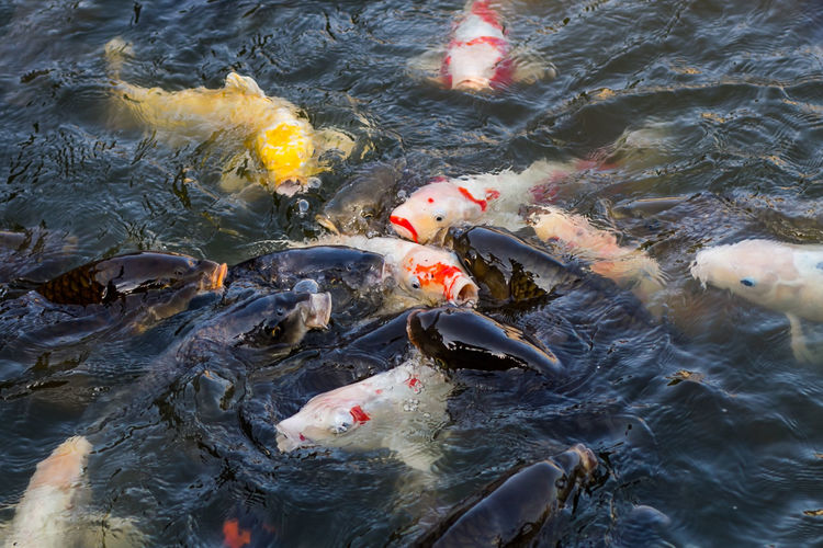 Japan Photography ASIA Asian  Japan Japan Photography Koi Meer Sea Wall Animal Animal Themes Animal Wildlife Animals In The Wild Beach Breakwater Carp Fish Fishes Group Of Animals Hagi Karpfen Koi Carp Marine Nature No People Ocean Outdoors School Of Fish Sea Summer Swimming Vertebrate Water