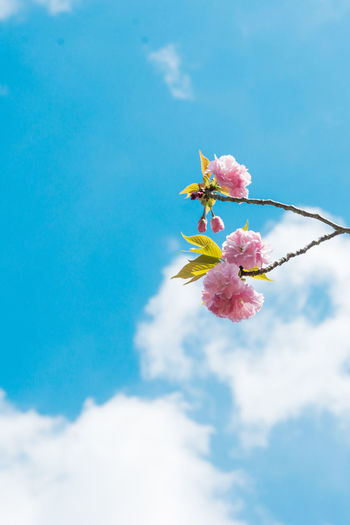 Pastel pink cherry blossoms (sakura) blooming in spring in bright sunny day with blue sky Flowering Plant Flower Plant Beauty In Nature Fragility Freshness Pink Color Vulnerability  Sky Nature Growth Cloud - Sky Petal Low Angle View Close-up Blossom Day No People Inflorescence Springtime Flower Head Cherry Blossom Outdoors Pollen Cherry Tree