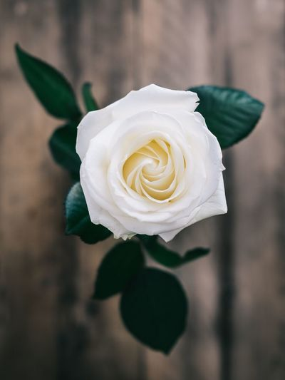 My favourite Rose, Beautiful EyeEm Selects Flower Plant Rosé Flowering Plant Beauty In Nature Rose - Flower Flower Head Freshness Inflorescence Fragility Nature White Color Focus On Foreground Flower Arrangement Leaf Petal