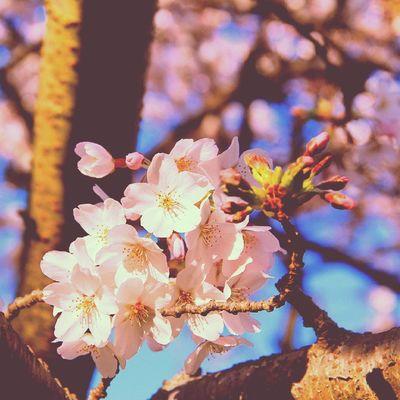 Otago Dunedin Spring Newzealandphotography newzealand sakura flower