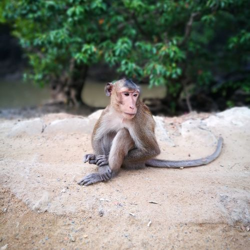 animal, monkey EyeEm Selects Baboon Sitting Sand Portrait Monkey
