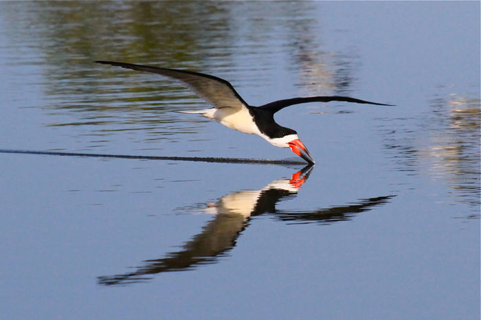 Time To Reflect Water Reflections Check This Out EyeEm Nature Lover black skimmer