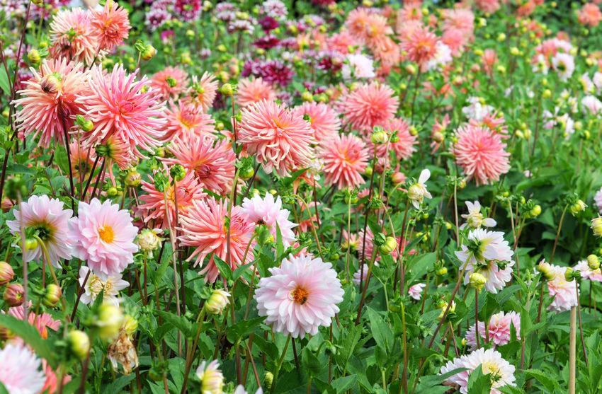 Flowerbed with pink orange Dahlias. Blooming Flower Flower Head Petal Pink Color Dahlia Dahlias Dahliaflowers Dahlia Flowers Dahlie DahliaGarden