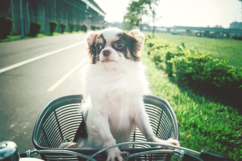Chihuahua In Bicycle Basket On Road