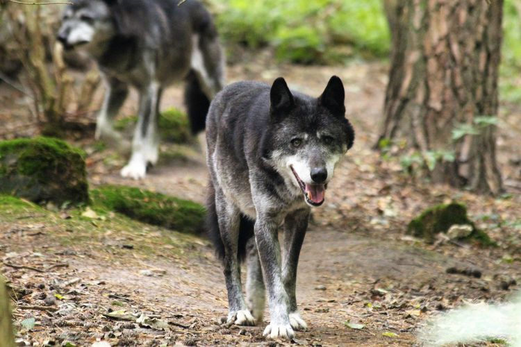 Animals Autumn Beauty In Nature Nature Outdoors Walking Around Taking Pictures Wildlife Wolf Wolves♥
