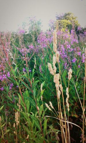 EyeEm Nature Lover Nature Flowers Purple Flower Wheat Suny Day Huging Nature Colorful