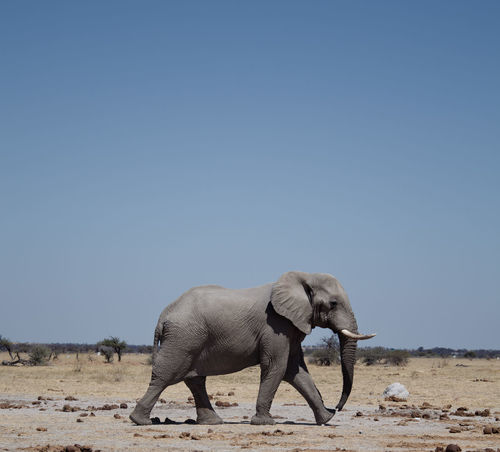 Travel Travel Photography African Elephant Animal Themes Animal Trunk Animal Wildlife Animals In The Wild Arid Climate Beauty In Nature Blue Clear Sky Day Desert Elephant Elephant Calf Full Length Landscape Mammal Nature No People One Animal Outdoors Safari Animals Side View Sky Standing Travel Destinations Tusk