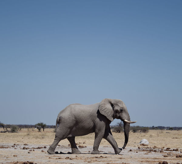 Close-up of elephant walking on field against clear sky