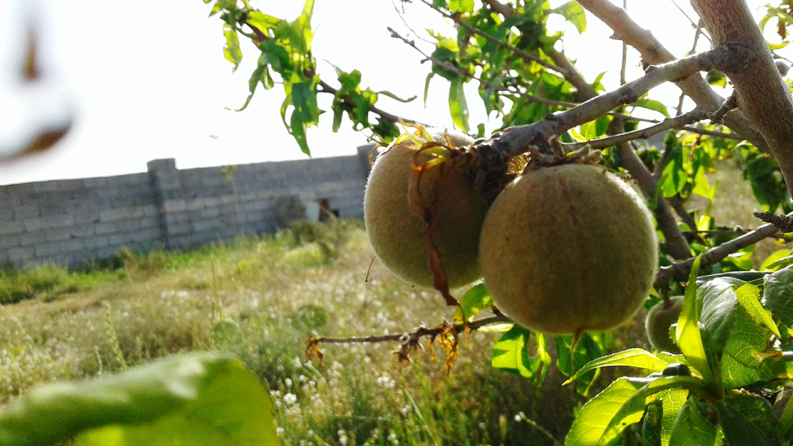 fruit, tree, growth, nature, food and drink, outdoors, healthy eating, citrus fruit, close-up, no people, fruit tree, food, leaf, freshness, day, orange tree