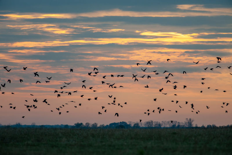 Flock of starlings flying above fields Hortobagy National Park Hungary Puszta Sturnus Vulgaris Animal Animal Wildlife Animals In The Wild Bird Flock Of Birds Flying Hortobagy Large Group Of Animals Nature No People Scenics - Nature Silhouette Sky Starling Steppe Sunset Wildlife