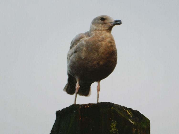 seagull ¹. Seagull Seagull And Sky Alert Bayside in Coquitlam, Canada