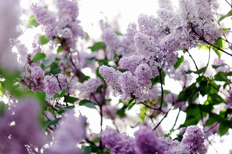 Beauty In Nature Close-up Day Flower Flowering Plant Fragility Freshness Growth Lila Lilac Nature No People Pink Color Plant Purple Springtime Tree Vulnerability