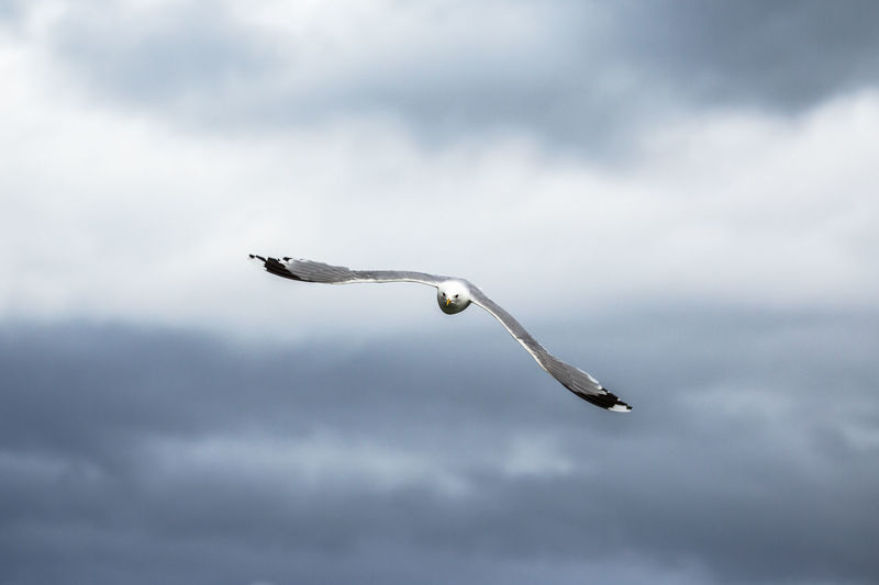 Close-up of bird flying against cloudy sky