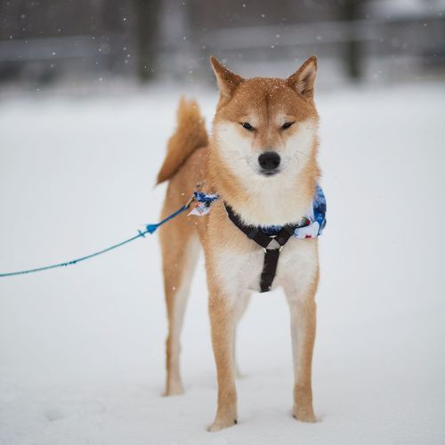 Portrait of dog standing in snow